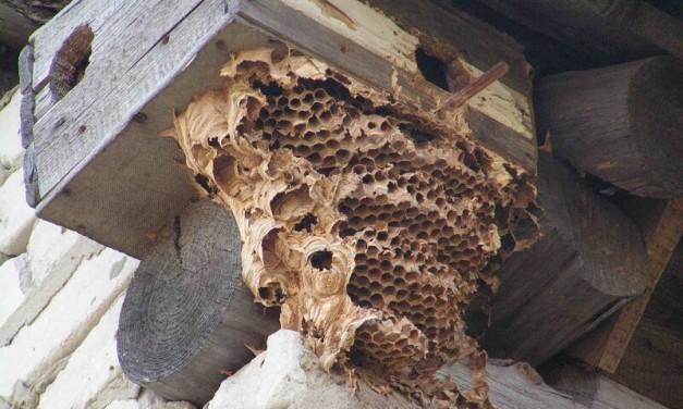 Способы удаления ос из под крыши дома